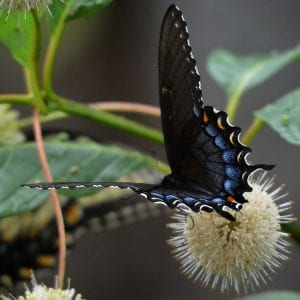 Buttonbush-Tiger-Swallowtail-Black