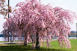 Support-Cherry-Tree